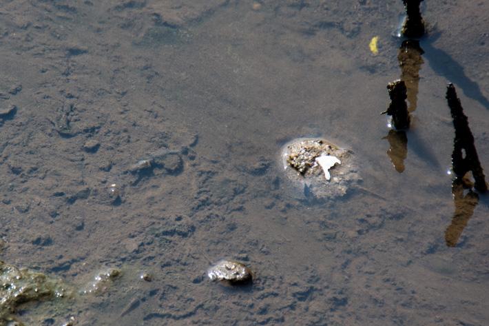 Mangrove Horseshoe Crab